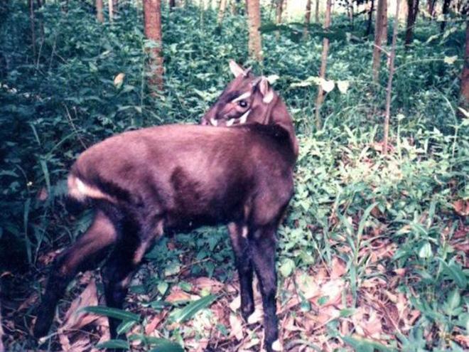 Khu vực sinh sống chủ yếu của loài này là ở vùng núi Việt Nam và Lào