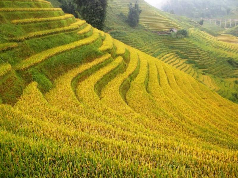 Sapa vào thu với những ruộng bậc thang lúa chín vàng