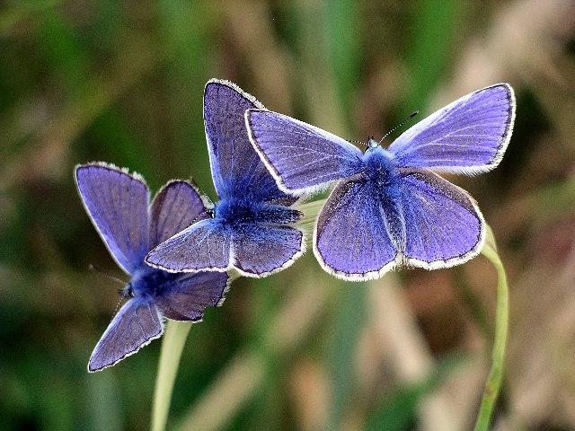 Sâu bướm xanh Polyommatus icarus