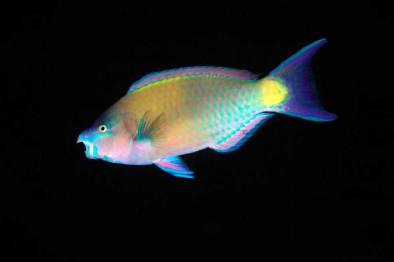 Màu sắc rực rỡ của cá Scarus coeruleus