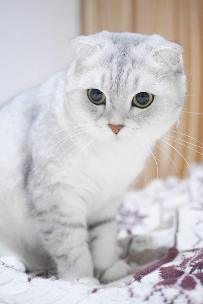 Mèo Scottish Fold là một giống mèo khá thông minh