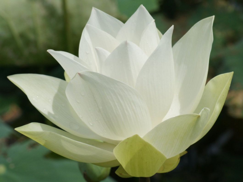 Sen trắng – Xuân Hoàng
