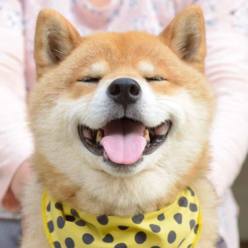 Khuôn mặt vui tươi của Shiba