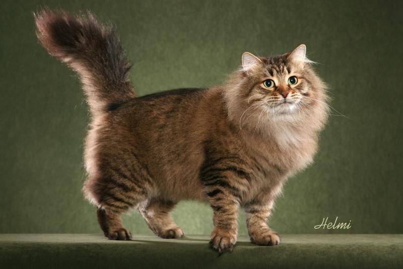 Siberian được xem là giống mèo biểu tượng của nước Nga