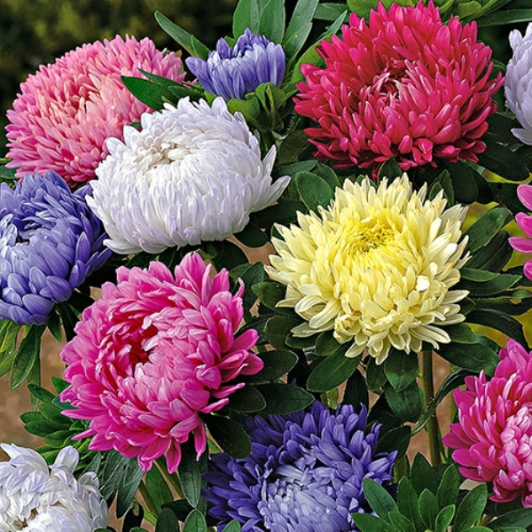 Hạt giống cây hoa cúc tây xù lùn có bán tại Siêu thị hạt giống hoa