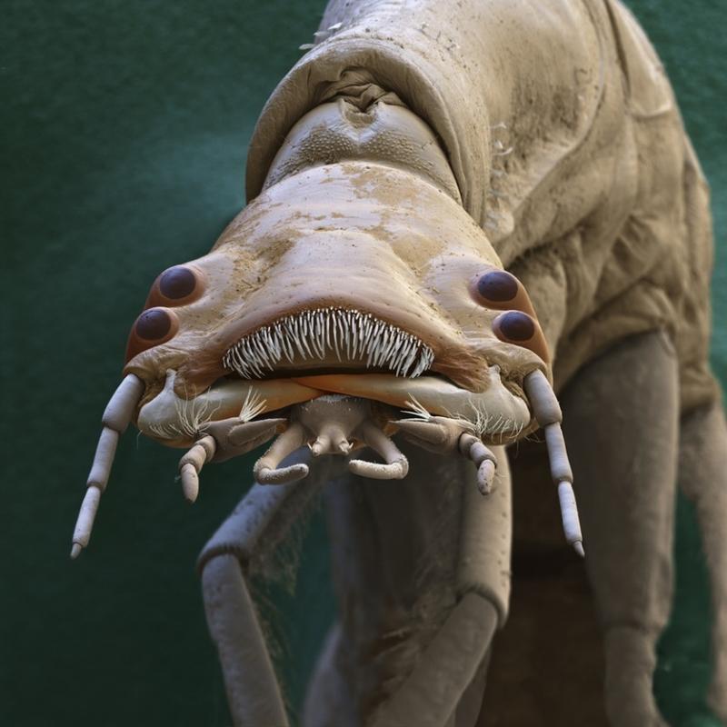 Ấu trùng Baetis sp