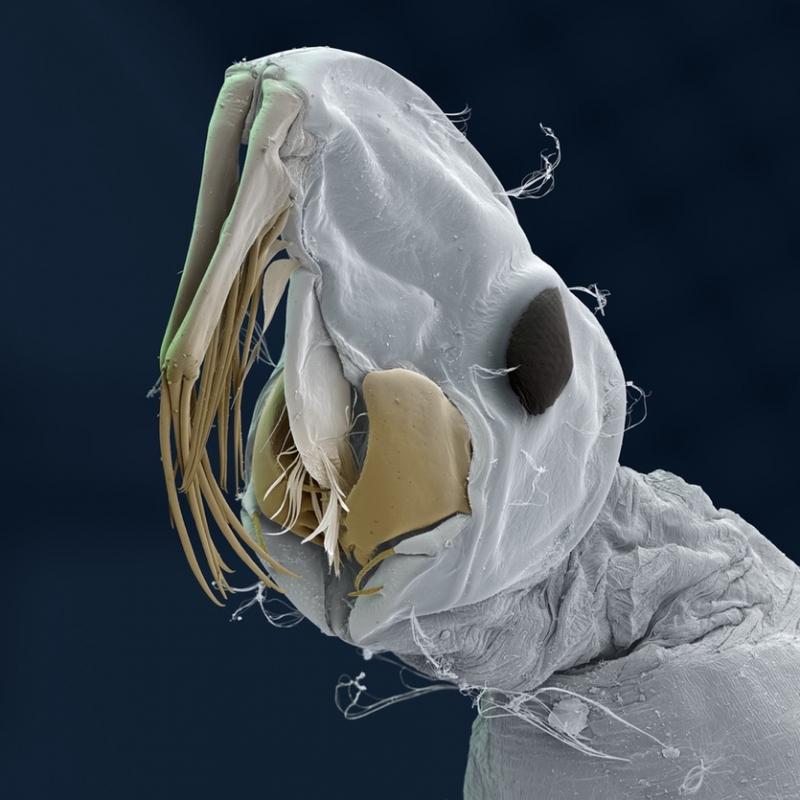 Chuồn chuồn Pyrrhosoma nymphula