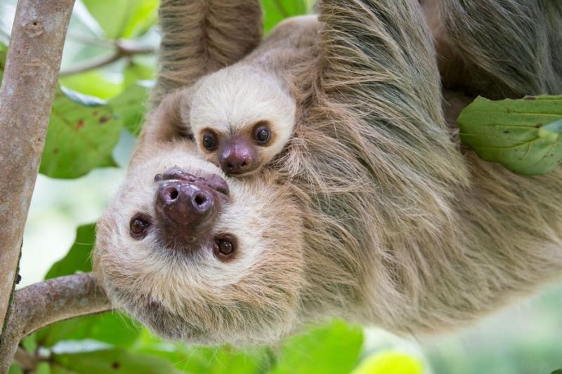 Loài động vật này có thể ngủ được 20 tiếng một ngày