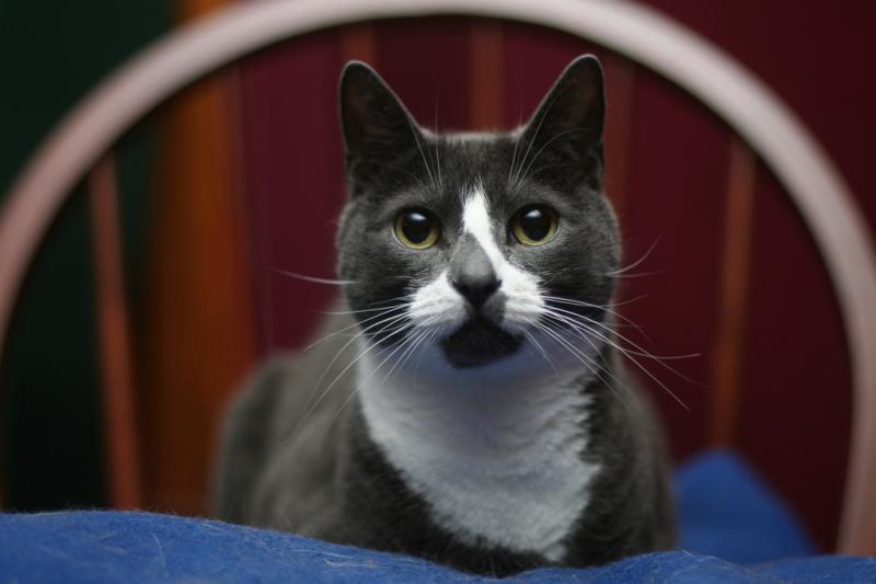 Sockington là một con mèo nhà lông ngắn có bộ lông màu xám và trắng