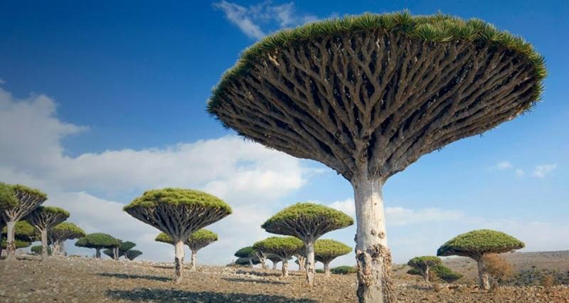 Cây máu rồng - một loài cây độc đáo của Socotra