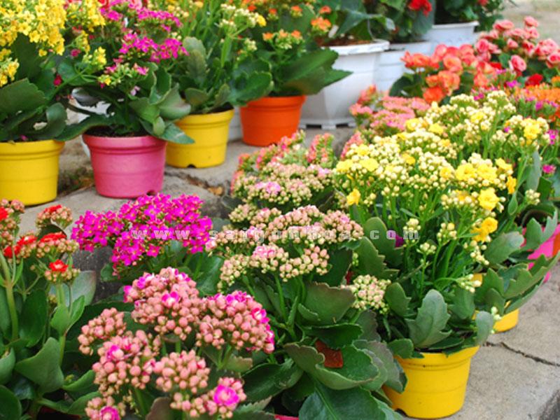 Hoa sống đời, một lựa chọn cho bạn ngày Tết