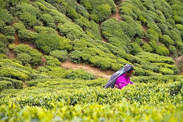 Sri Lanka đứng thứ 4 thế giới về sản lượng trà