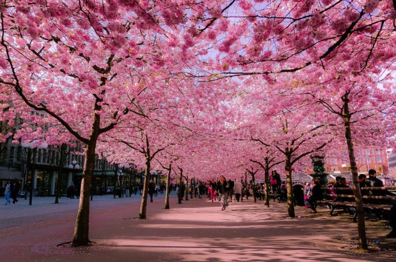 Stockholm khoác lên mình một chiếc áo mới với sắc hồng phấn nhẹ nhàng của những cánh hoa anh đào