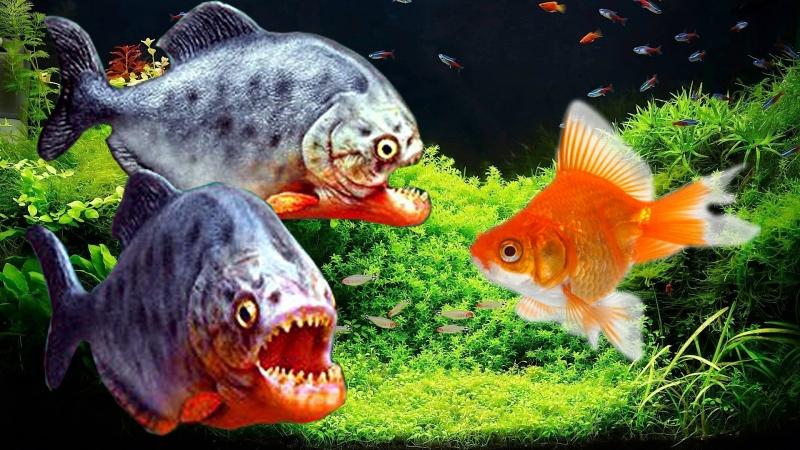 Sự đáng sợ của cá Piraha
