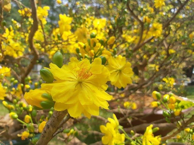 Sự tích hoa Mai vàng