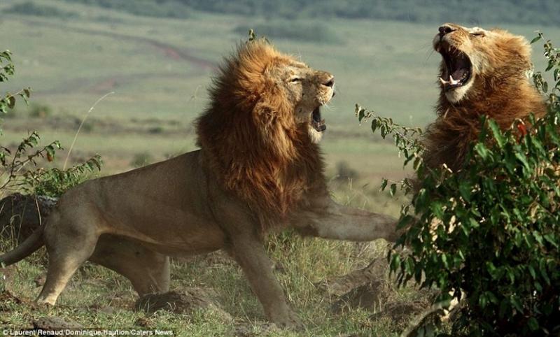 Sư tử đực đánh nhau tranh giành quyền lực.