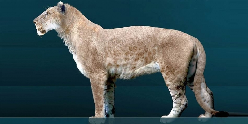 Thuộc chủng loại động vật họ mèo lớn nhất trong lịch sử với 350 kg trọng lượng.