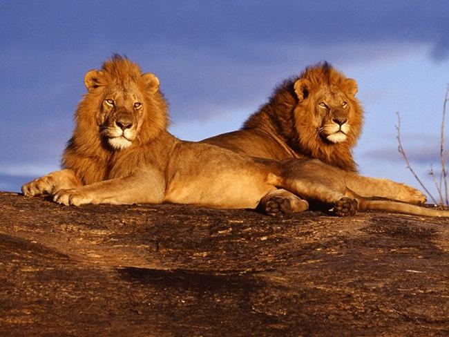 Mỗi năm, tính riêng ở Tanzania, số người thiệt mạng vì sư tử Châu Phi lên đến 70 người.