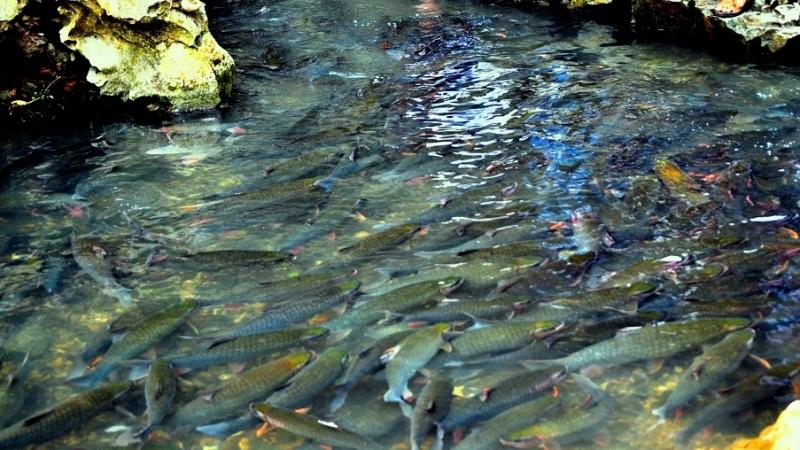 Suối Cá thần- Cẩm Lương