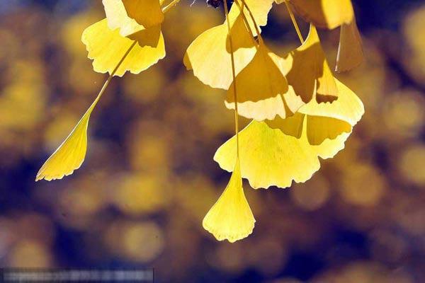 Lá bạch quả màu vàng