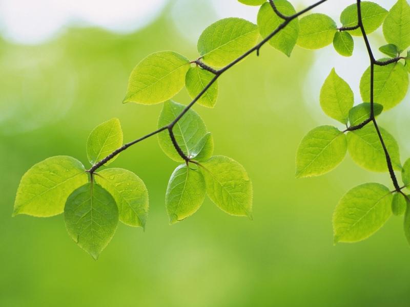 Lá cây có màu xanh vì chứa nhiều diệp lục