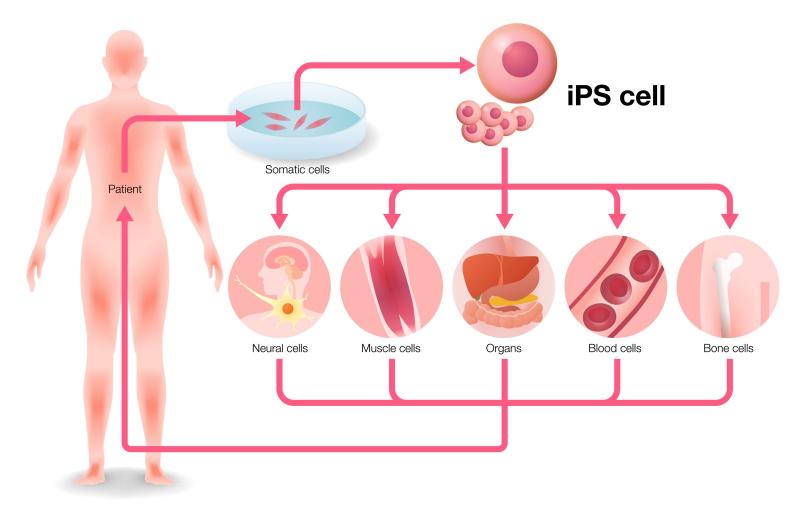 Tế bào máu được sinh ra và đào thải theo chu trình