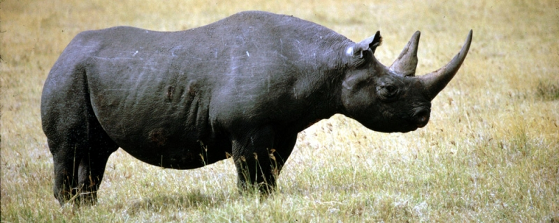 Tê giác đen Tây Phi