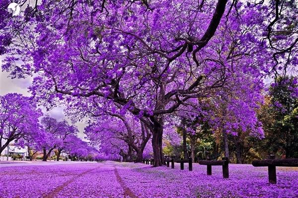 Thành phố Pretoria – thiên đường hoa phượng tím giữa lòng Nam Phi