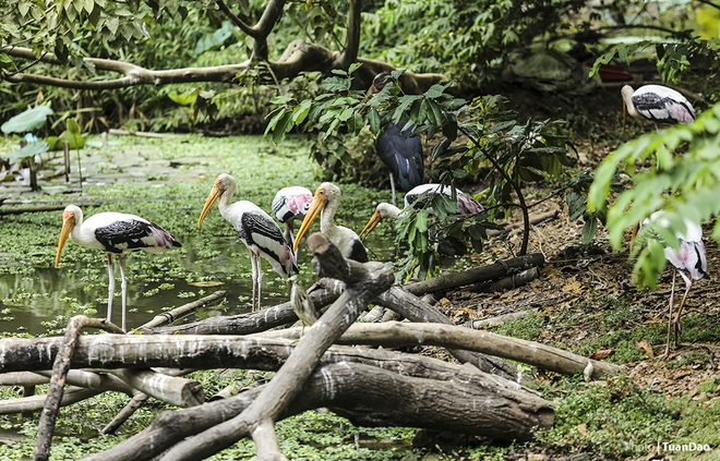 Giữa Thảo Cầm Viên có một hồ sen cũng là nơi cư trú của nhiều loài chim