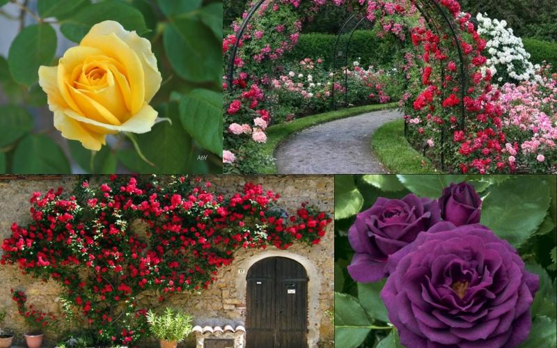 Hơn 300 loài hoa hồng sẽ được xuất hiện trong lễ hội