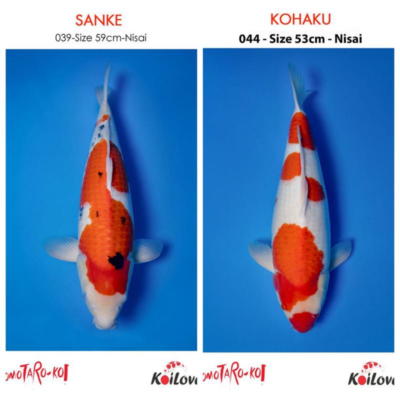 Top 7 địa chỉ mua cá Koi Nhật, Cá Koi F1 tại Hà Nội