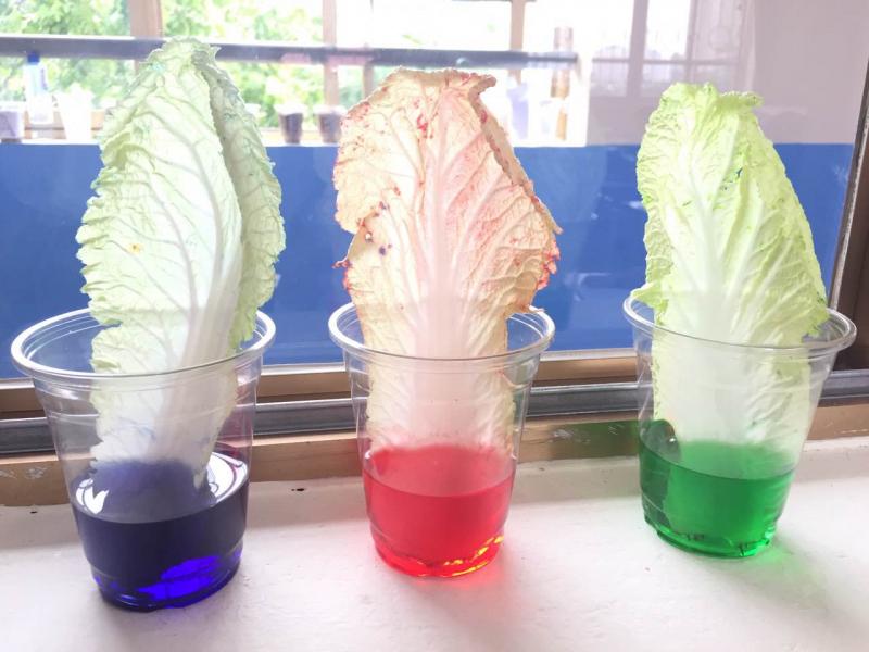 Thí nghiệm tạo màu cho cây cải thảo