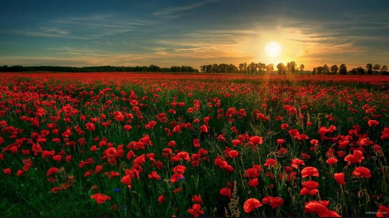 Thiên đường hoa poppy