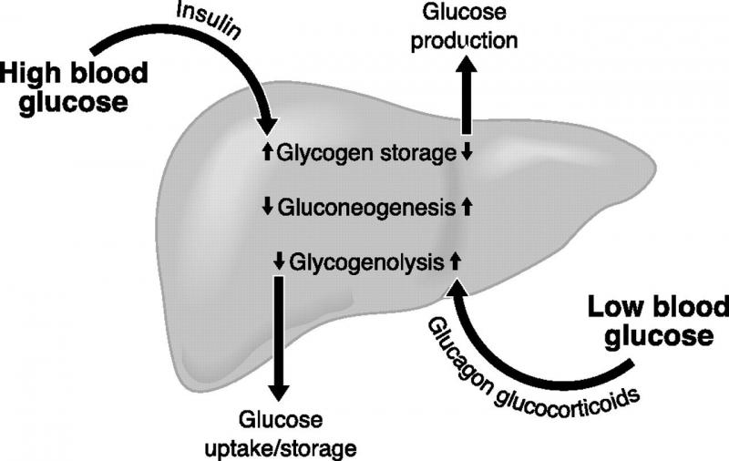 Insulin trong cơ thể