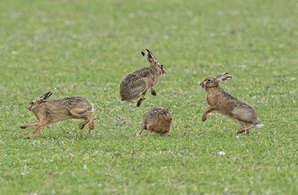 Thỏ nâu rừng