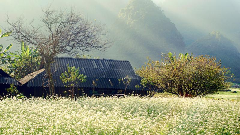 Mùa cải trắng tại Hà Giang