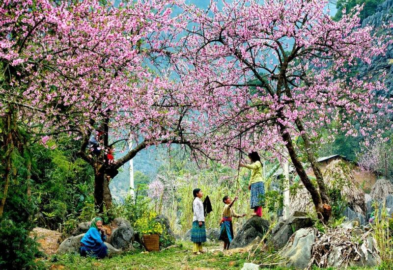 Hoa đào nở rộ ở Mai Châu