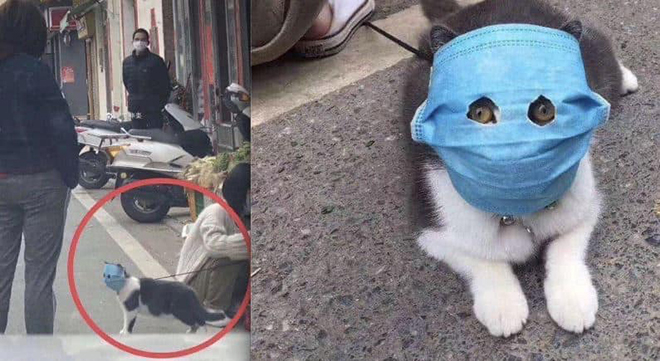 Chú mèo đeo khẩu trang gây bão trên mạng xã hội (Nguồn: Sưu tầm Internet)