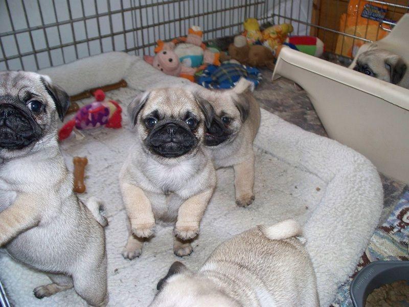 Đàn Pug xuất chuồng vào tháng 1/ 2017