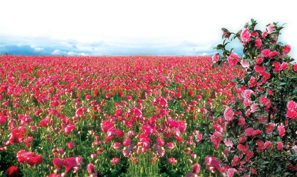 Thung lũng hoa hồng Bungari