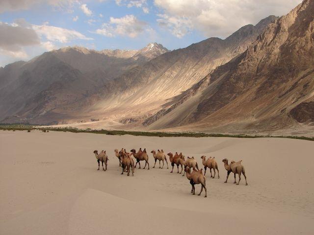 Đàn lạc đà dạo bước trong thung lũng Nubra