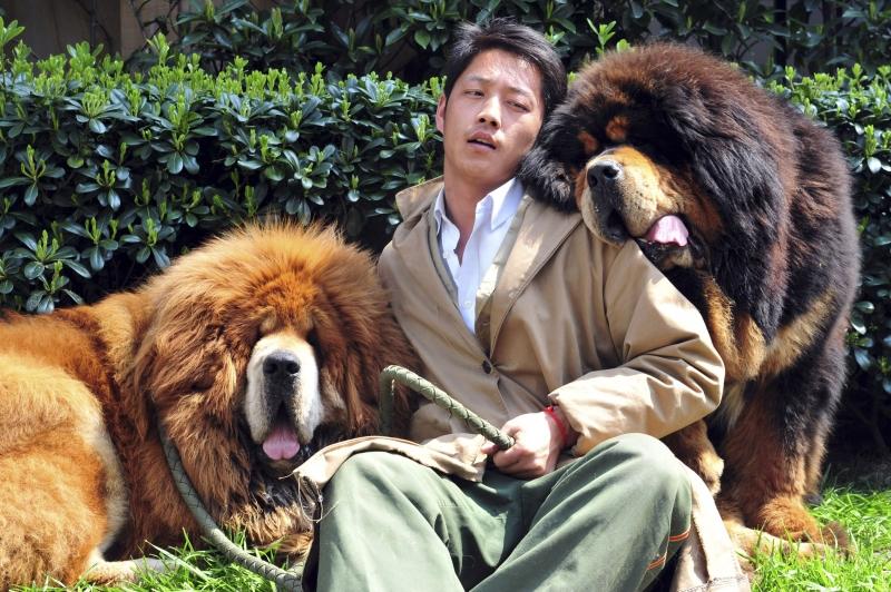 Hai chú chó Tibetan Mastiff ở Tây Tạng