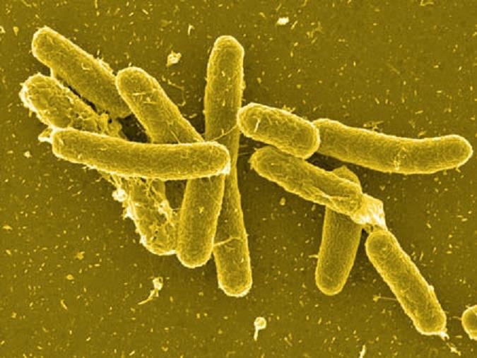 Vi khuẩn Salmonella non typhi