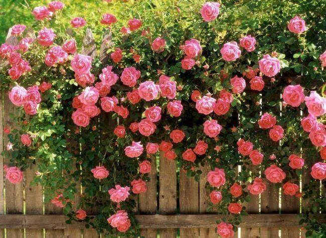 Top 12 Bài thơ hay về hoa hồng mới nhất 2