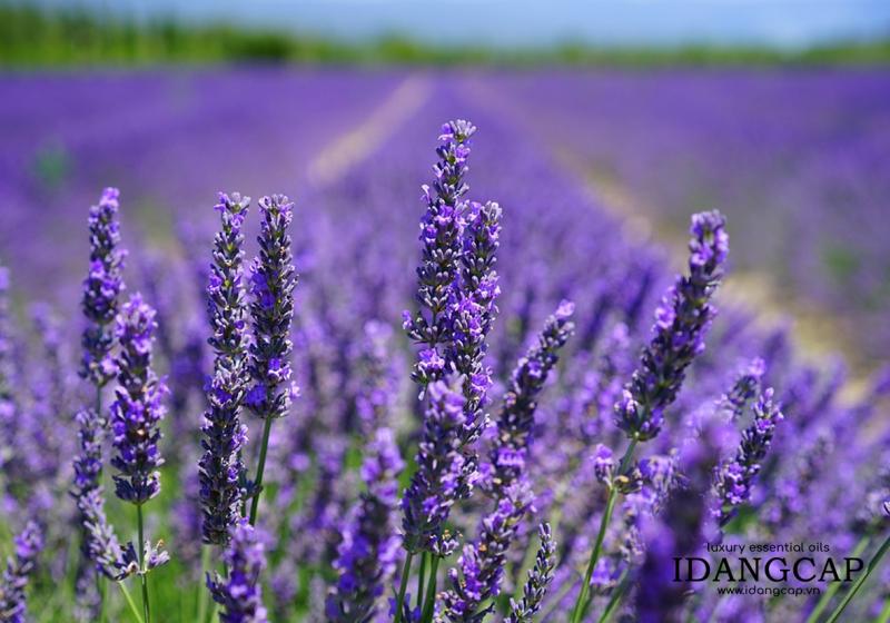 Tinh Dầu Oải Hương Nguyên Chất – Lavender Essential Oil