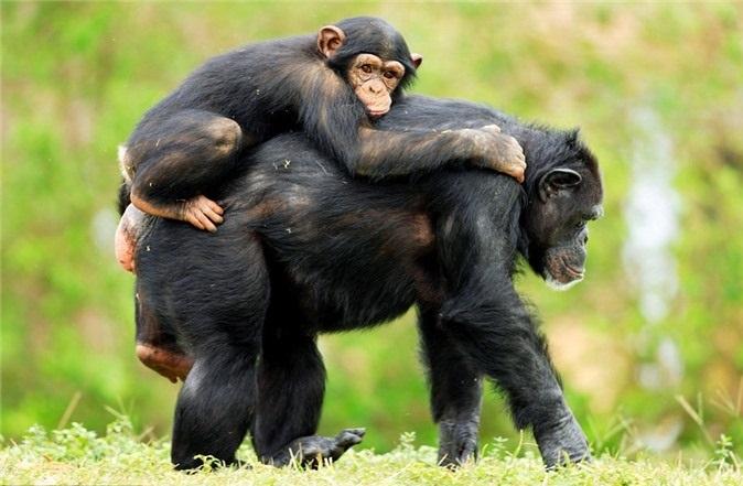Tinh tinh thuộc top 1 động vật thông minh nhất thế giới