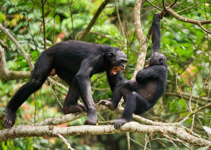 Những bầy tinh tinh đôi khi còn tổ chức những đi săn tập thể để bắt tinh tinh con ăn thịt.