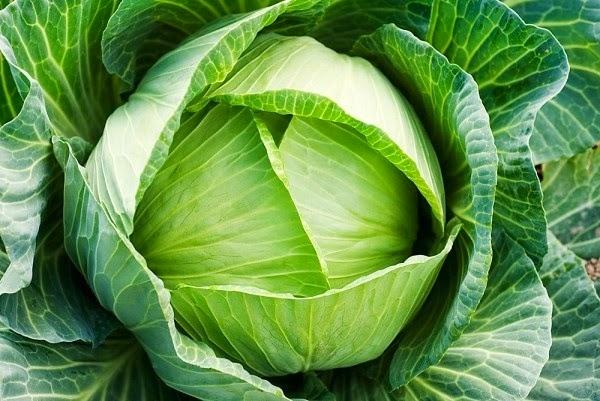 Hạt giống bắp cải Bắc Hà với tỉ lệ nảy mầm hơn 85%.