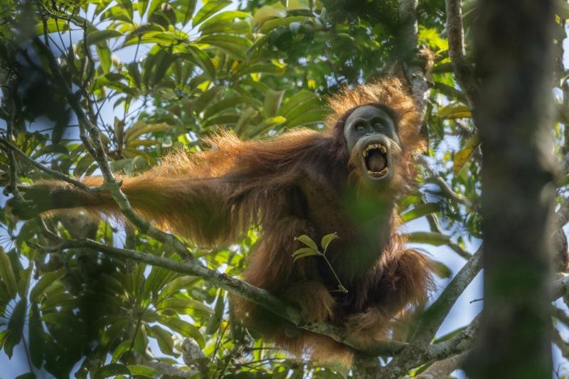 Tough Times for Orangutans - Tim Laman