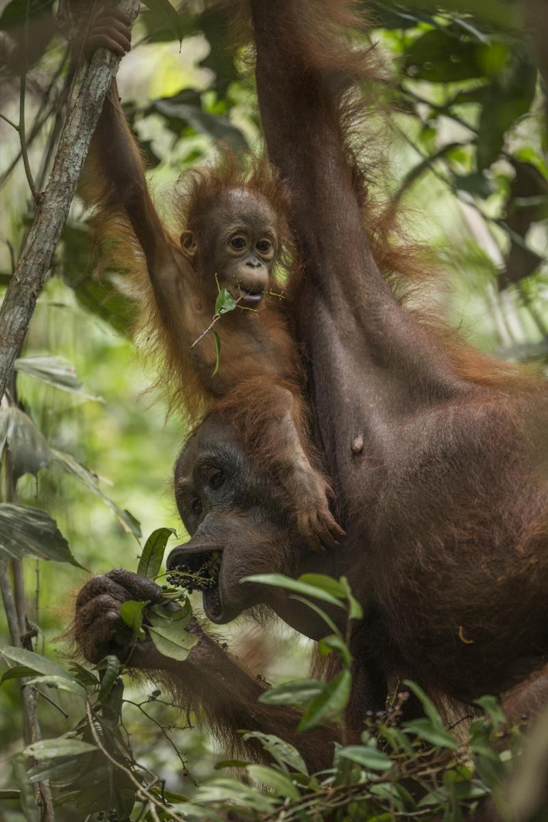 Bộ ảnh Tough Times for Orangutans  của nhiếp ảnh gia Tim Laman - Nguồn Internet